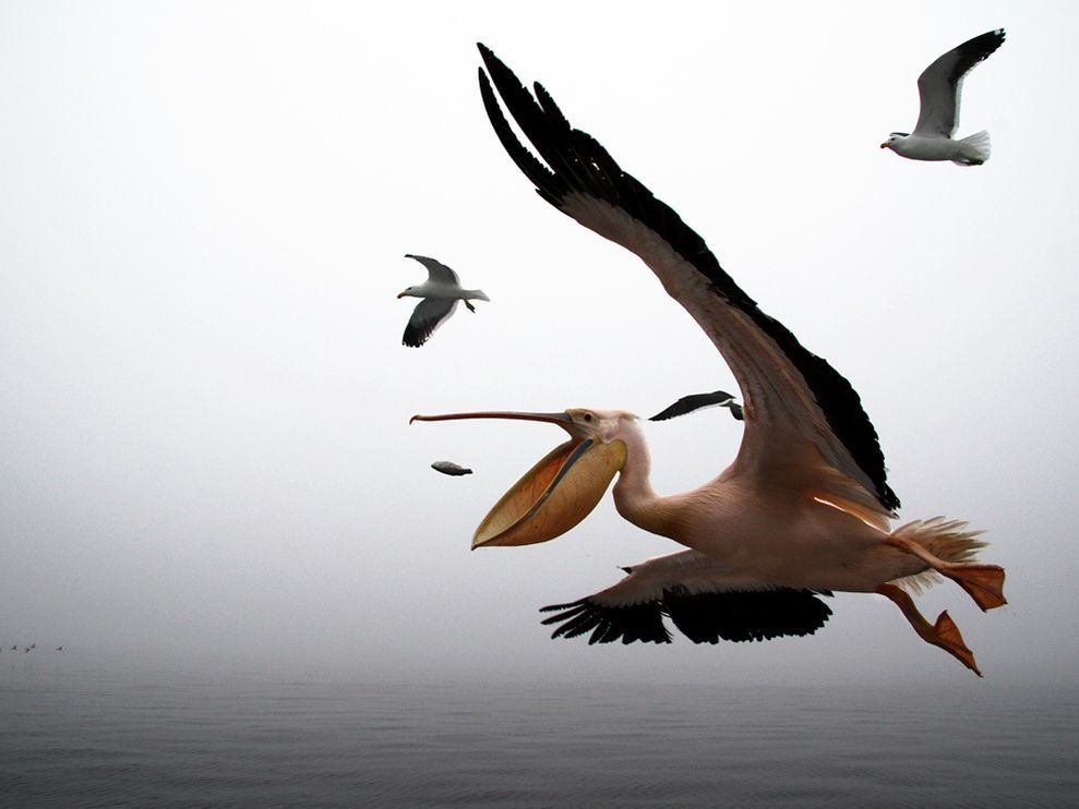 In Walvis Bay, Namibia, a pelican would never fail in catching a fish … when thrown from a boat. Photograph by Romulo Rejon