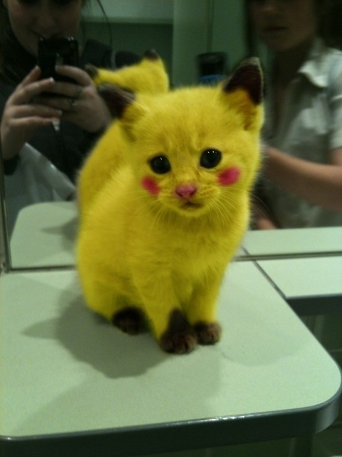 Found on my desk this morning: Pikachu kitty. Happy Friday.