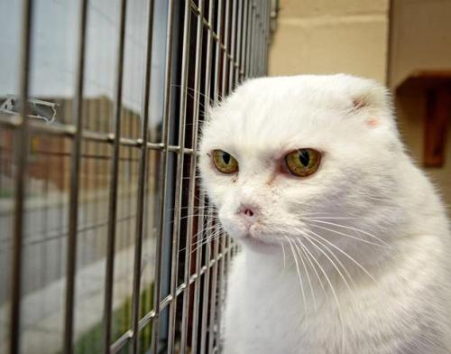 veganpower:  An animal rescue centre is struggling to rehome this cat, because it looks like evil Lord Voldemort from the Harry Potter films. Workers at The Blue Cross in Southampton say visitors have been scared off. The abandoned cat, named Charlie, had to have its ears and nose removed after suffering from skin cancer. Vets say Charlie's pale skin left him at risk of developing the potentially fatal disease. They are now desperately trying to rehome him and say a family of Harry Potter fans could offer their best hope. He is described as an affectionate lap cat. For more information on Charlie, please click here!   I would pet it either way and love it :)