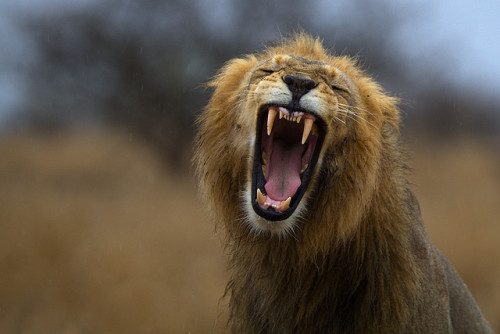 Lion yawn on a rainy day (by Thomas Retterath)