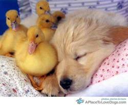 aplacetolovedogs:   Sleeping is for the birds er I mean ducks Original Article