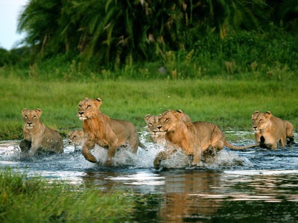 The Last Lions is an exciting new film from National Geographic Entertainment, opening in theaters February 18. You have the opportunity to win a trip to the actual location where the film was made: beautiful Botswana! Enter The Last Lions Sweepstakes and you could be the  lucky winner of an amazing, once-in-a-lifetime trip for two to  experience the lush landscapes, abundant wildlife, and fascinating  culture of Botswana, Africa.  You will even get to visit the Okavango  Delta (where The Last Lions was filmed) on a 12-day private  safari! This incredible trip includes round-trip air to Botswana, travel  within Africa, and all hotel accommodations. Click here to enter! (USA only) Photo by: Beverly Joubert