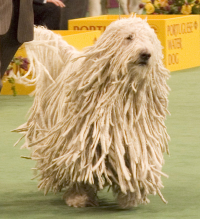 now rastafarians and mops can own dogs that they look like. :) i wanntt it.