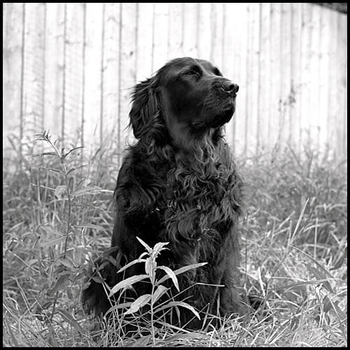 Portrait of Wooly Bear Whitehorse, Yukon Territory  Canada 1991  Yashica Mat 124G + T-max 400 film Notes: Part Newfoundland, all heart! Photography by Harry Snowden Posted for my friends at: The Weekend in Black and White…the new home for Monochrome Maniacs If you enjoyed this image, you might also like…  The Stone Mother at Sunset - Black Rock Desert, Nevada