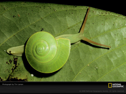 animalworld:  GREEN SNAIL (Rhinocochlis nasuta)  -  ©Tim Laman This species of green colored snail is called Rhinocochlis nasuta. It is only can be found in limestone area of Borneo island. Very beautiful snail. Rhinocochlis nasuta is a species of air-breathing land snails, terrestrial pulmonate gastropod mollusks in the family Dyakiidae. Fact Source: http://en.wikipedia.org/wiki/Rhinocochlis_nasuta Other photos you may enjoy: Banana Slug Green Snail Common Garden Snail