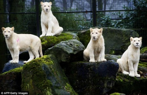 Four White Lions come outside for the first time after 10 weeks in quarantaine in Ouwehands Zoo in Rhenen, the Netherlands. The male, Credo, is seven months old and the females, Ilanga, Bhandura and Luna, are aged ten months! :)