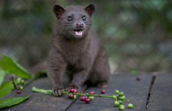 A Luwak feeds on coffee berries in Bali | Indonesia by: Paula Bernstein