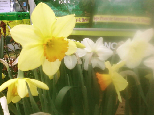 We have daffodils at work now! So yesterday working garden register was made better with the company of my two favorite flowers.