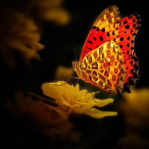 Butterflies are self propelled flowers.   ~R.H. Heinlein