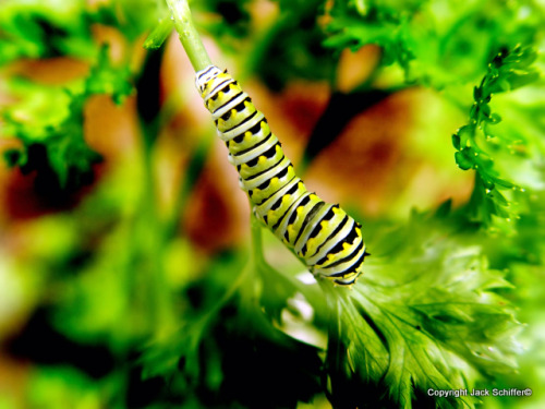 Macro shot of green catapiller eating parsley http://www.dreamstime.com/Jack%20schiffer_portfolio_pg2