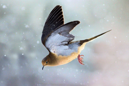 laurahoffman:  Dove flying (by Elmore Photography)