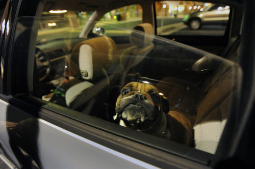 You definitely don't want to carjack this dog.