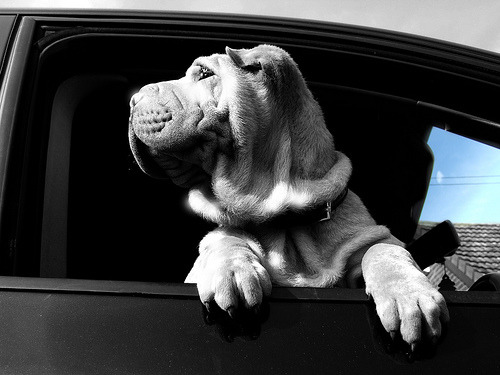 They should use wrinkly dogs to model cars in commercials. I'd buy a car that a wrinkly dog likes.