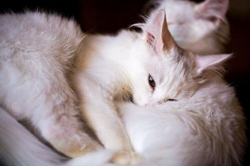 Aww, a fluffy-type cat nap!