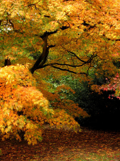 landscapelifescape:  Japanese (Acer Palmatum) Maple trees at Westonbirt Arboretum, Gloucestershire, UK Golden Cloud by parallel-pam