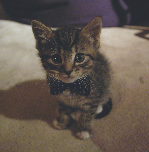 youpeoplearepoison-:  longtimefishpie:  A cat with a bow tie always lightens the mood   I still have to make Vinny a bowtie.