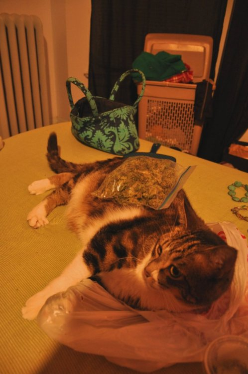 fuckyeahstonerchicks:  My cat George only loves me for my bags