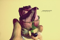 my dying rose,i tried to save you.