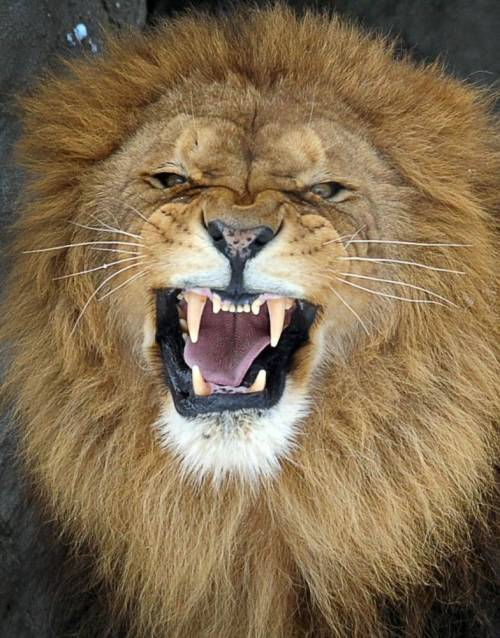 No nonsense lion!