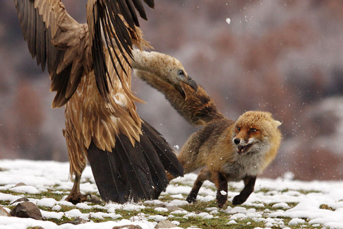 whysofly:  Vulture versus a fox this time.  Vultures are badass, people.  Believe it.