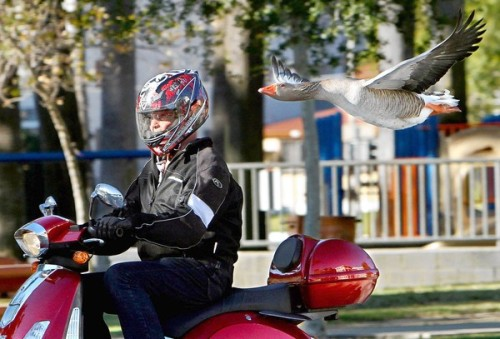 The unlikely friendship between a man and a goose.