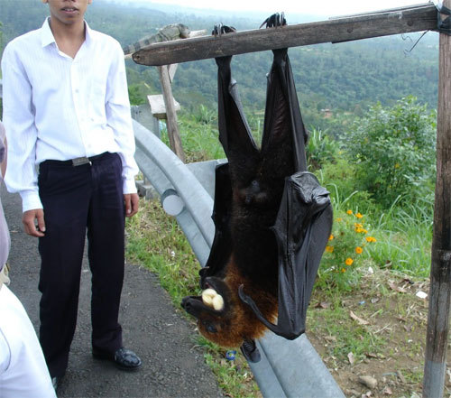 "devils-trap:  imalbertgrr:  ew ew ew it's real! that's a 5.5 foot bat.  omg i want to feed it bananas and have it walk beside me and be like, ""w0rd guys this is my giant bat we tight just don't eat fruit bitch'll steal it from you""   Thats a Malayan Flying Fox! It's the world's largest species of bat, and they're so freakin sweet and cuddly. Believe it or not, their fur is downy soft."