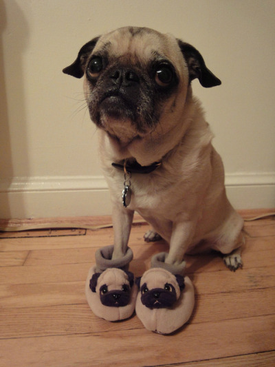 laughingsquid:  A Pug Wearing Pug Slippers