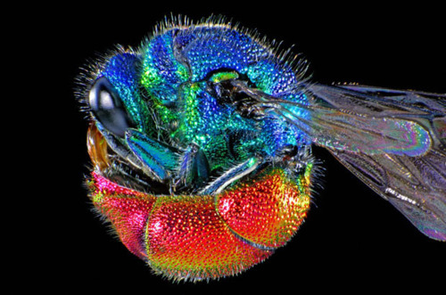 RUBY-TAILED WASP - Protective Posture (Chrysis ignita)  Picture: 	Spike Walker / Wellcome Images Other images you may enjoy: Jewel Wasp or Cockroach Wasp Ruby-tailed Wasp or Cuckoo Wasp Nice shot of a Ruby-tailed Wasp —- bugdrops:  Photomicrograph of the ruby-tailed wasp. Chrysis ignita is the most commonly observed (of several) species of the ruby-tailed wasp. It is easily recognised by the vibrant iridescent colours on its body. The head and thorax is a metallic green / blue, while the abdomen is a ruby red / bronze colour, which gives it its name. The underside of the abdomen is also concave, which allows the wasp to roll itself into a protective ball if threatened.  Ruby tailed wasps are 'parasitoids' meaning that they eventually kill their hosts. Chrysis ignita parasitizes Mason Bees - the females lay their eggs in the same nest as mason bees, so, when the ruby-tailed wasp larvae hatch, they feed on the mason bee larvae. Ruby tailed wasps do have a sting but it is not functional and most species have no venom.  To highlight the irridesent colours the wasp was lit with 2 electronic flashes, one +/- horizontal, the other at 45 degrees.