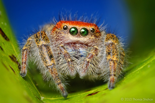 CARDINAL JUMPING SPIDER (Phidippus cardinalis) ©Photos by shahan Jumping spiders are generally diurnal, active hunters. Their well-developed internal hydraulic  system extends their limbs by altering the pressure of body fluid  (hemolymph) within them. This enables the spiders to jump without having  large muscular legs like a grasshopper.  Most jumping spiders can jump several times the length of their body.  When a jumping spider is moving from place to place, and especially just  before it jumps, it tethers a filament of silk (or dragline) to whatever it is standing on. Should it fall for one reason or another, it climbs back up the silk tether. Fact Source: http://en.wikipedia.org/wiki/Jumping_spider Other photos you may enjoy: How Jumping Spider see Lovely patterned Australian jumping Spider Antilles Pinktoe Tarantula - beautiful —— rhamphotheca:  Spider close-up: Adult Female Cardinal Jumping Spider (Phidippus cardinalis) (photo: Thomas Shahan)