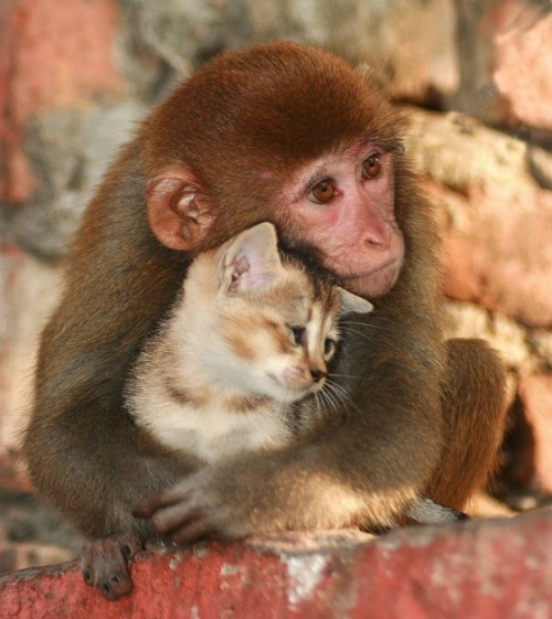 A monkey hugging a kitten