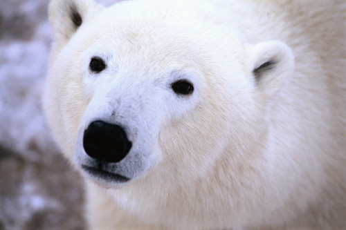 dakotahrae:  Help the polar bears!
