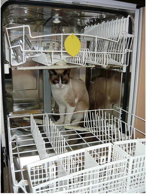 get out of there cat. you do not belong in a dishwasher that is for dishes. you are not dishes you are a cat.