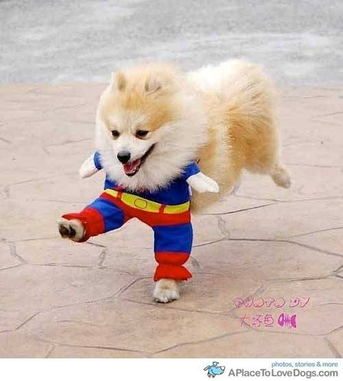 aplacetolovedogs:   douban Superdog is here to save the day! Original Article