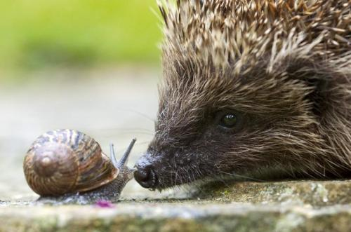 I love hedgehogs! Just like my Auntie Pineapple. allcreatures:  Face to face with a hedgehog by Paul Hobson