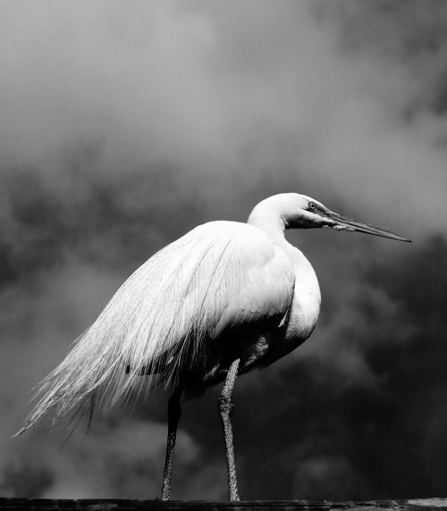 Egret, shot at the San Diego Zoo's Safari Park and cross-posted from my photoblog, The Occasional Odd Crop