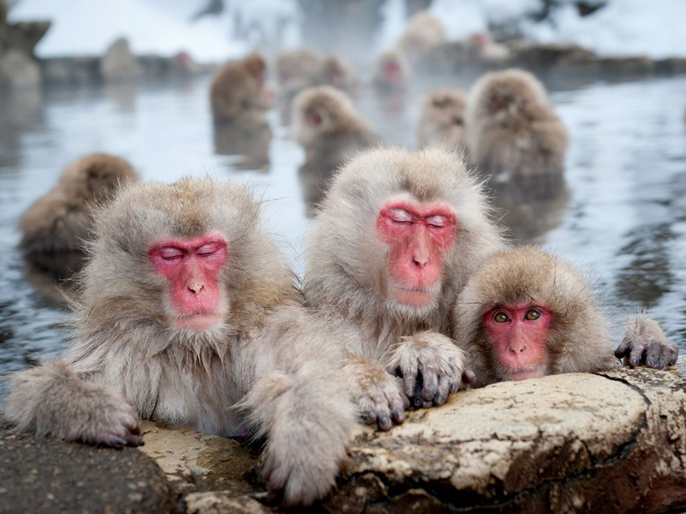 Japanese macaques, also known as snow monkeys, stay warm in the winter by bathing in the natural hot springs at Nagano. The parents go to great lengths to protect their young. I saw this scene of two monkeys relaxing with a curious infant and captured the moment. Photograph by Patrick Shyu