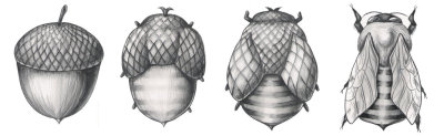 from acorn to bee - neat illustration via starsrising:  Beecorn- The Metamorphosis, by Jacqueline Rae