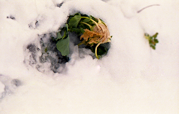 Frozen kohlrabi in the garden.