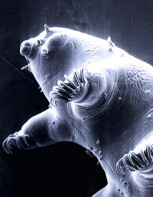"Tardigrades are small, extremophile animals. Commonly known as the ""water bear"" these animals have been sent into a vacuum, returned to normal atmosphere, and found to be still living. They are found in almost any habitat imaginable, and although they are microscopic, the larger, adults may be seen with the naked eye - so next time you go swimming in a lake, try looking for some !"