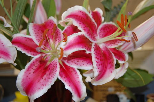 Photo by Cavs Lady, Star Gazer Lily
