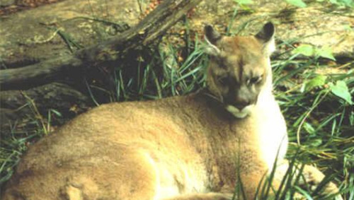 Eastern cougar now extinctScientists suspect that the animal has been extinct since the 1930s