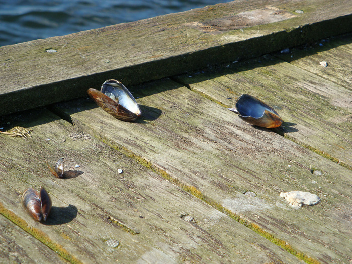 The seagulls have left blue mussel behind