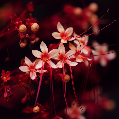 lisaakari:  ~ Little Red Flowers ~ (by Peem)