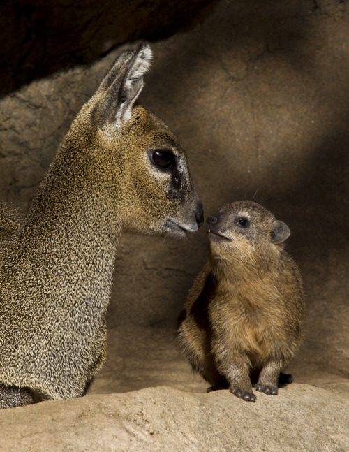 sdzoo:  A klipspringer and a rock hyrax share a moment in our mixed species African kopje exhibit.