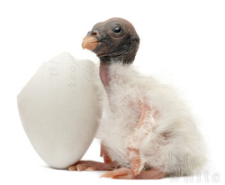 This is a King Vulture chick. It may be one of the cutest ugly things I have ever seen.