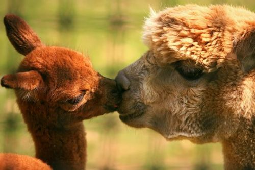 lickystickypickyme:  Kissing alpaca mom and kid are awesome.Photograph by Joseph Rescinito.  Oh hey, cuteness!