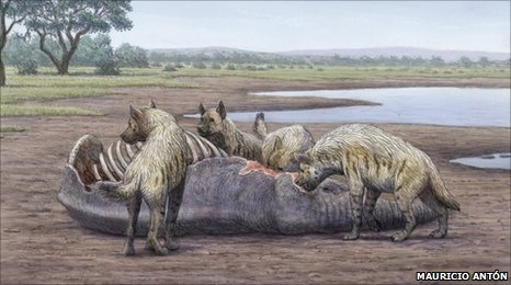 Prehistoric giant hyena's bone-cracking habit Scientists have established how the largest bone-cracking carnivore to have ever lived went about its business. The giant hyena, Pachycrocuta brevirostris, roamed Africa more than 2.5 million years ago. […] The force that this hyena was able to exert with its huge premolar  teeth was an order of magnitude higher than in living bone-crackers. […]