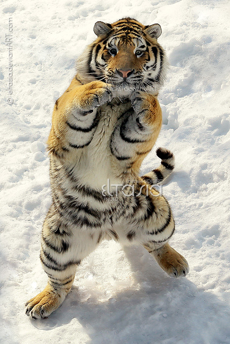 missyshade:  Tiger Boxer by *Eltasia on deviantART  OMG epic!