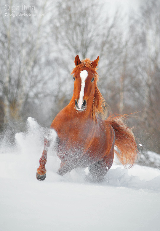 magicalnaturetour:  Exel by Olga5 ~ Arabian Stallion :)