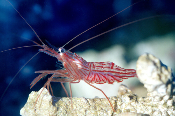 animalworld:  PEPPERMINT SHRIMP (Lysmata wurdemanni) Lysmata wurdemanni, also known as the peppermint shrimp, is a common species of shrimp. It is a reef safe cleaning animal which consumes parasites and dead or diseased tissue from other animals, and is therefore used in salt water fish tanks. It reaches 7 centimetres (2.8 in) in length, and is named for the bright red stripes on its otherwise translucent  body, which are reminiscent of peppermint candies such as a candy cane. Its eggs, by contrast, are bright green. L. wurdemanni is a hermaphrodite and therefore any two individuals may mate. The hatching of eggs, moulting, and copulation cycle is identical to that of L. debelius, yielding weekly batches of zoeae from each pair. Fact Source: http://en.wikipedia.org/wiki/Lysmata_wurdemanni Other photos you may enjoy: Rainbow Mantis Shrimp Transparent Crayfish Mantis Shrimp guarding eggs  LIKE WHO CARES. THE ONLY THING IS THAT ITS REALLY UNIQUE XD